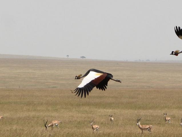 crested-crane-in-flight-best