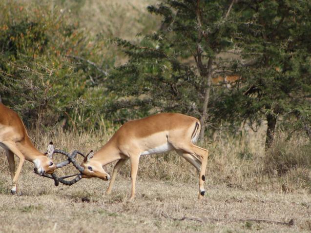impala-fighting-052